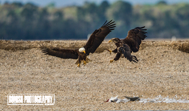 Bald Eagle Fighting with an Immature Bald over some food - Cedar Key Florida - Photo by Pat Bonish