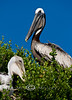 Baby Pelican in the Nest with the Adult Staning guard over it - Seahorse Key -  Photo by Pat Bonish