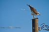 Lightening the Load - Osprey in Mid-Poop - Cedar Key Florida - Photo by Pat Bonish