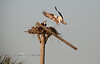 Bringing Home the Bacon - Osprey returning to the nest with food - Photo by Pat Bonish