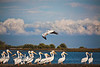 Always a Show-Off - White Pelicans in Cedar Key Florida - Photo by Pat Bonish