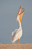 White Pelican Doing a Head Throw - Cedar Key Florida - Photo by Pat Bonish