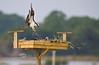 Building the Nest - Osprey Nesting Box behind the Low-Key Hideaway - Cedar Key Florida - Photo by Pat Bonish
