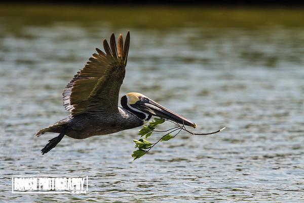 Brown Pelican with Nesting Material - Cedar Key Florida - Photo by Pat Bonish