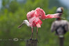 Roseate Spoonbill Shaking it's Tail Feathers - Photo by Cindy Bonish