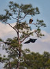 Immature Bald Eagle coming in for a landing with the Adult sitting right above - Cedar Key Florida - Photo by Pat Bonish