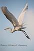 White Egret Taking to Flight - Cedar Key Florida - Photo by Pat Bonish