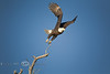 Morning Flight - Bald Eagle leaving the Branch - Photo by Pat Bonish