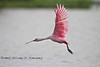 Leaping into the Air - Roseatte Spoonbill in Cedar Key Florida - Photo by Pat Bonish
