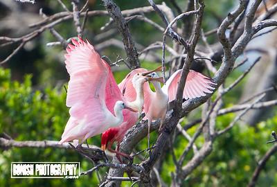 Feeding time for the Spoonbills - Cedar Key Florida - Photo by Pat Bonish
