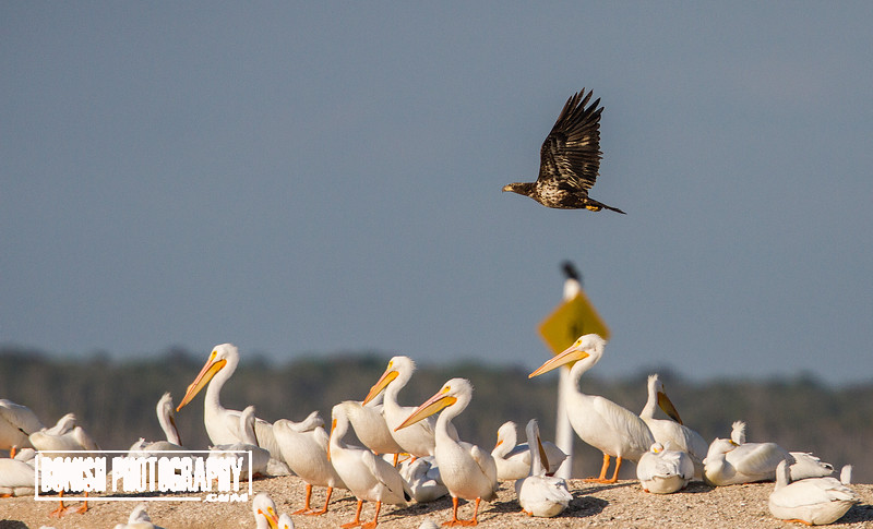 Immature Bald Eagle Flying over a Flock of White Pelicans - Cedar Key Florida - Photo by Pat Bonish