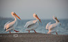 Walk Like An Egyptian - White Pelicans in Cedar Key Florida - Photo by Pat Bonish