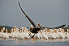 The Black Sheep of the Family - Lone Brown Pelican with a flock of White Pelicans in Cedar Key Florida - Photo by Pat Bonish