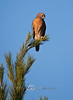 Red Shouldered Hawk sitting atop a Pine Tree - Cedar Key Florida - Photo by Pat Bonish