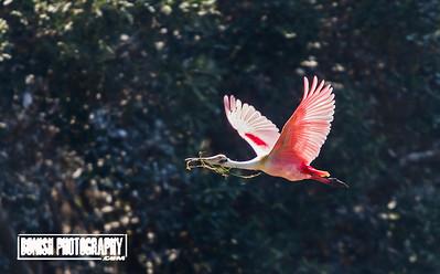 Spoonbill in Flight - Cedar Key Florida - Photo by Pat Bonish