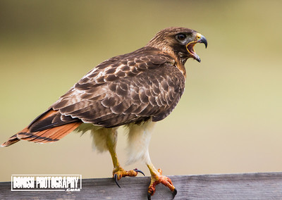 Red Tailed Hawk calling for its Mate - Cedar Key Florida - Photo by Pat Bonish