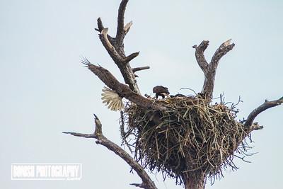 Returning to the Eagle Nest - Cedar Key Florida - Photo by Pat Bonish