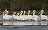 On Guard - Flock of White Pelicans Migrating through Cedar Key Florida - Photo by Pat Bonish