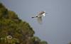 Soaring behind the Low-Key Hideaway - Great White Heron in Cedar Key - Photo by Pat Bonish