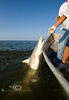 Pulling in a Black Tip Shark off the Coast of Cedar Key - Photo by Pat Bonish