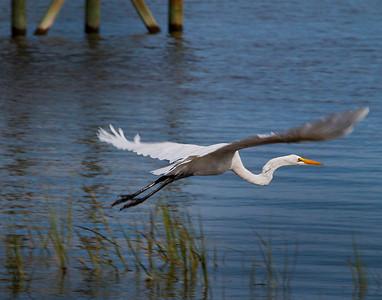 Great White Egret also known as a white heron