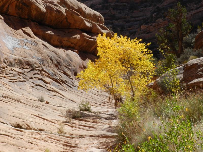 Autumn in Road Canyon, Cedar Mesa