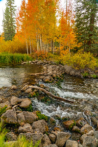 Aspen in Fall Along Duck Creek