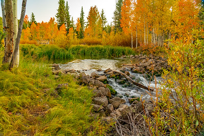 Aspen in Autumn Along Duck Creek