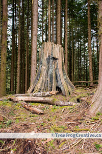1029 - Ancient charred cedar stump in the Malcolm Knapp Research Forest