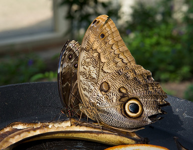 Owl butterfly, at the Cecil B. Day Butterfly Center