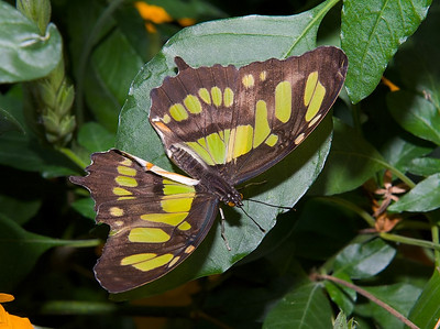 Malachite butterfly (Siproeta stelenes) of Central and South America