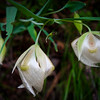 Globe Lilies in Henry Cowell