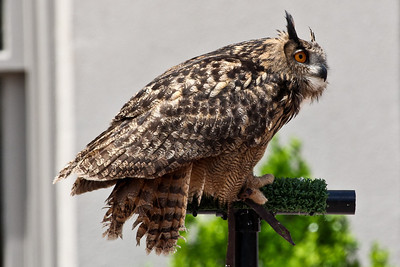 Eagle Owl from Eurasia