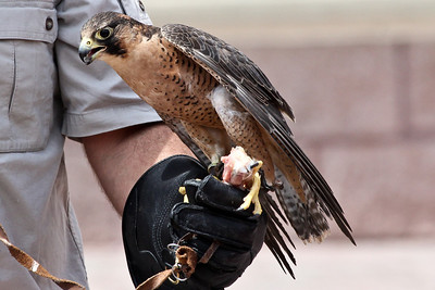 A species of African Falcon