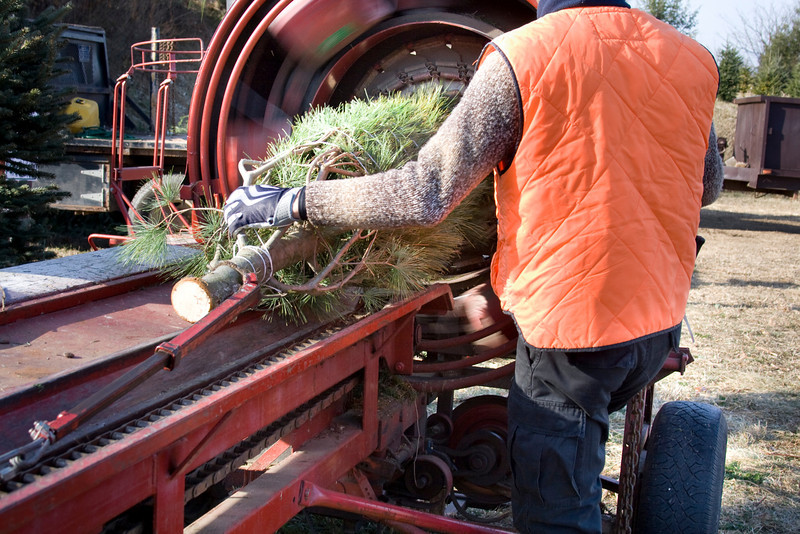 A worker bundles a Christmas tree at the farm.