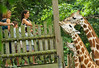Non-Exclusive<br /> 2012 July 28 - Katie Holmes takes Suri Cruise to the Bronx Zoo to feed leaves to the giraffes instead of going to LA to meet her obligations for the Dizzy Feet Foundation. Photo Credit Jackson Lee