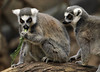 2011 Jan 12 - Lemurs of different shades play around at the Bronx Zoo in NYC. Photo Credit Jackson Lee
