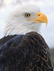 2011 Jan 12 - The majestic bald eagle at the Bronx Zoo, NYC. Photo Credit Jackson Lee