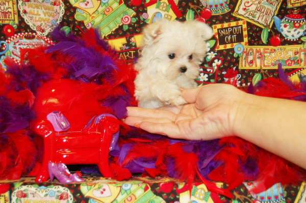 ^ CLICK HERE ^ To See SOLD SELECT PUPPIES  From Celebrity Bloodlines & X-TRA TINY # 2