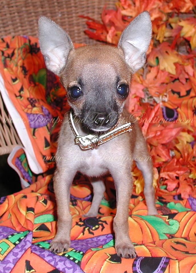 Paris Hilton Chihuahua Tinkerbell