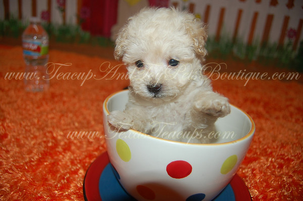 SOLD MaltePoo # 2225 (Khali El-Assir from Spain)