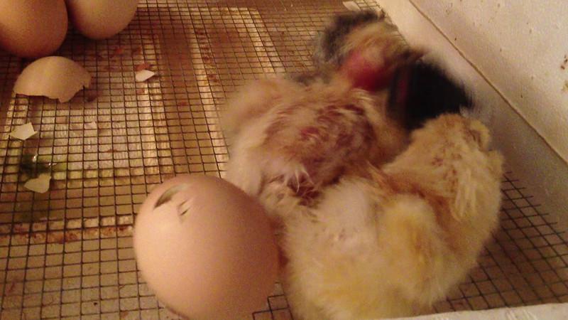 4 little chicks pushing an egg