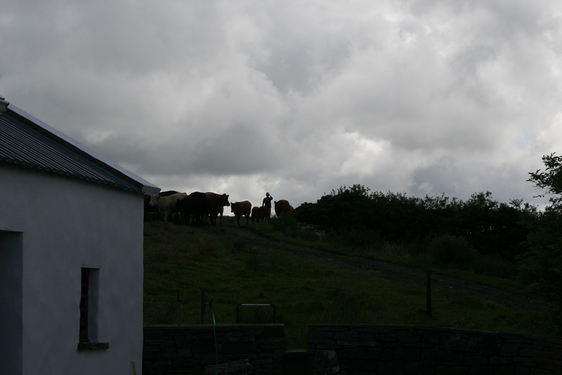 Cows coming over the hill next to the cottage.