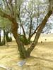 V Trees