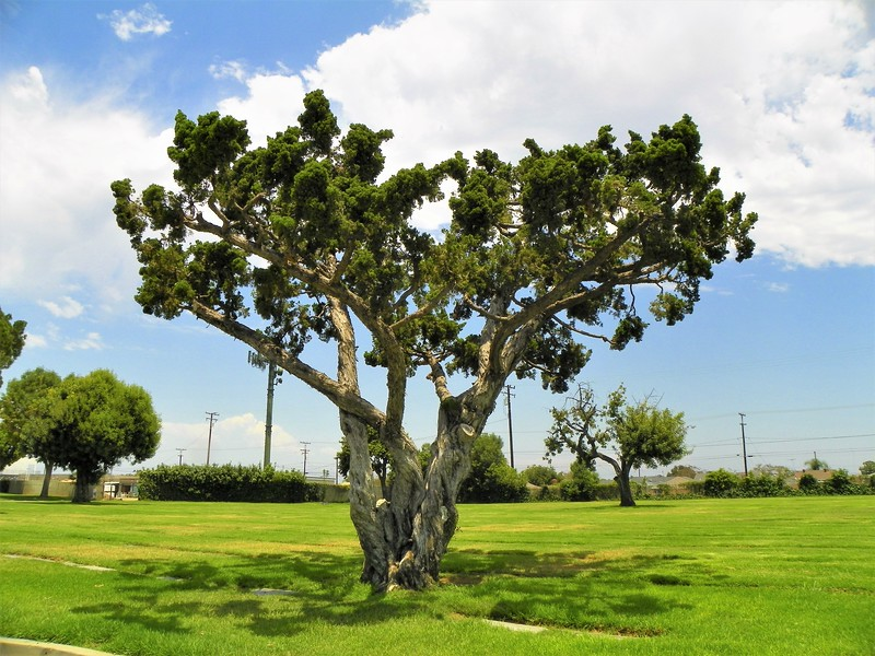Old tree - 1