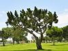 Old tree - 2