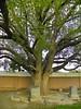 Tree - 6