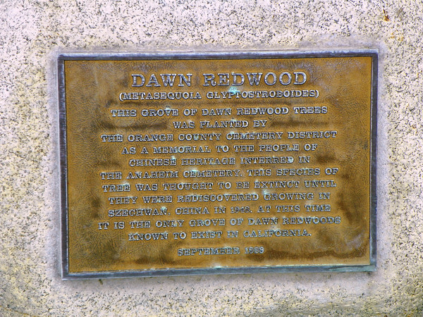Dawn Redwood plaque