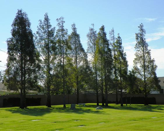 Dawn Redwoods - 2