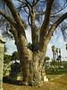 Massive tree - 1